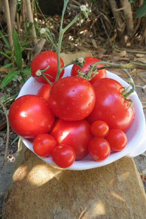Tomatoes - good for making Insalata Caprese
