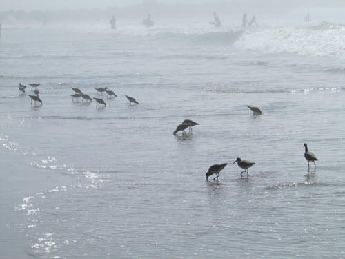 birds in the midst - Ventura Beach