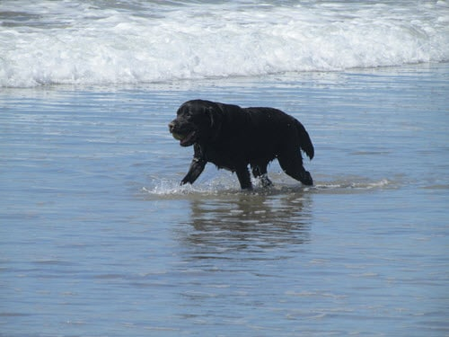 labrador retriever with ball on Ventura Beach