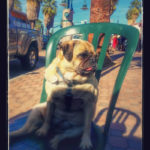pug in Palm Springs - Lulu