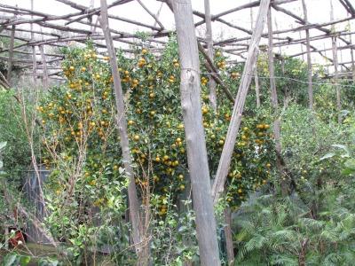 Limoncello Lemon Trees in Sorrento