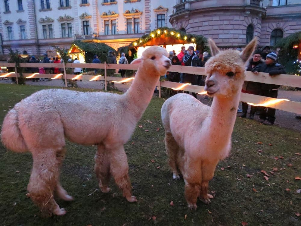 Baby Ilamas are an attraction at the Thurn und Taxis Christmas Market in Regensburg, Germany #ChristmasMarkets #Ilamas #holidays #Germany #Regensburg