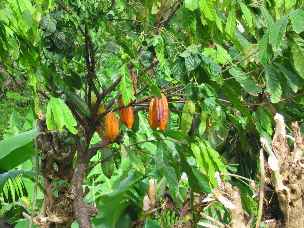 Baby Boomer Travel | Caribbean | Grenada - Rain Forest Cacao