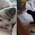 Sheets by California Design Den Pure Natural Cotton Bedding #homedecor #bedding #sheets #dogs