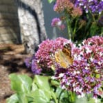 Painted Lady butterfly that descended on Los Angeles during the butterfly migration of 2019