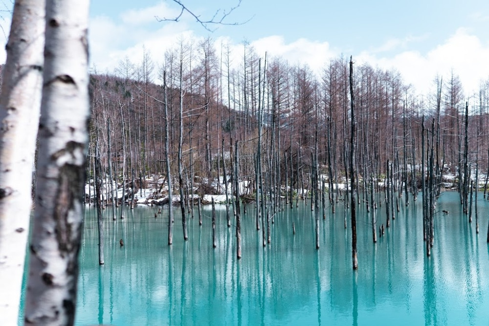 The Blue Pond in Hokkaido is a wonderful place to take a stroll and enjoy the magical scenery.