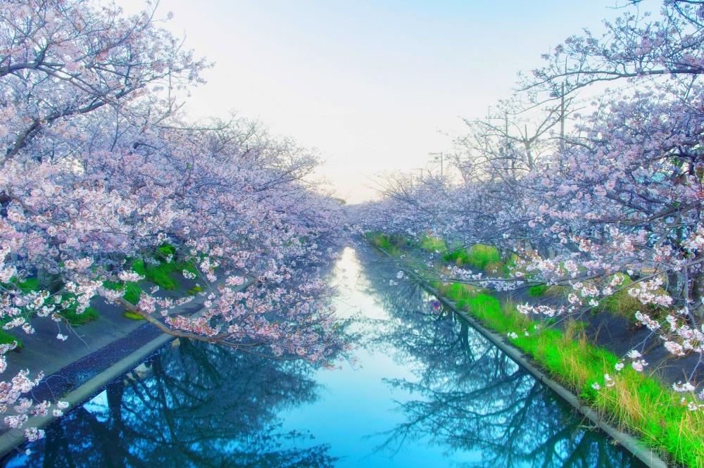 Yoshino Cherry Blossoms