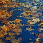 Leaves in a pond with fall colors