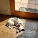 Pet sitting a sunbathing dog